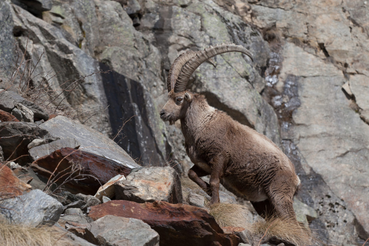 Alpine Ibex (Capra ibex) in Italian Alps. Animal in the stone natural habitat (Gran Paradiso National Park, Italy)