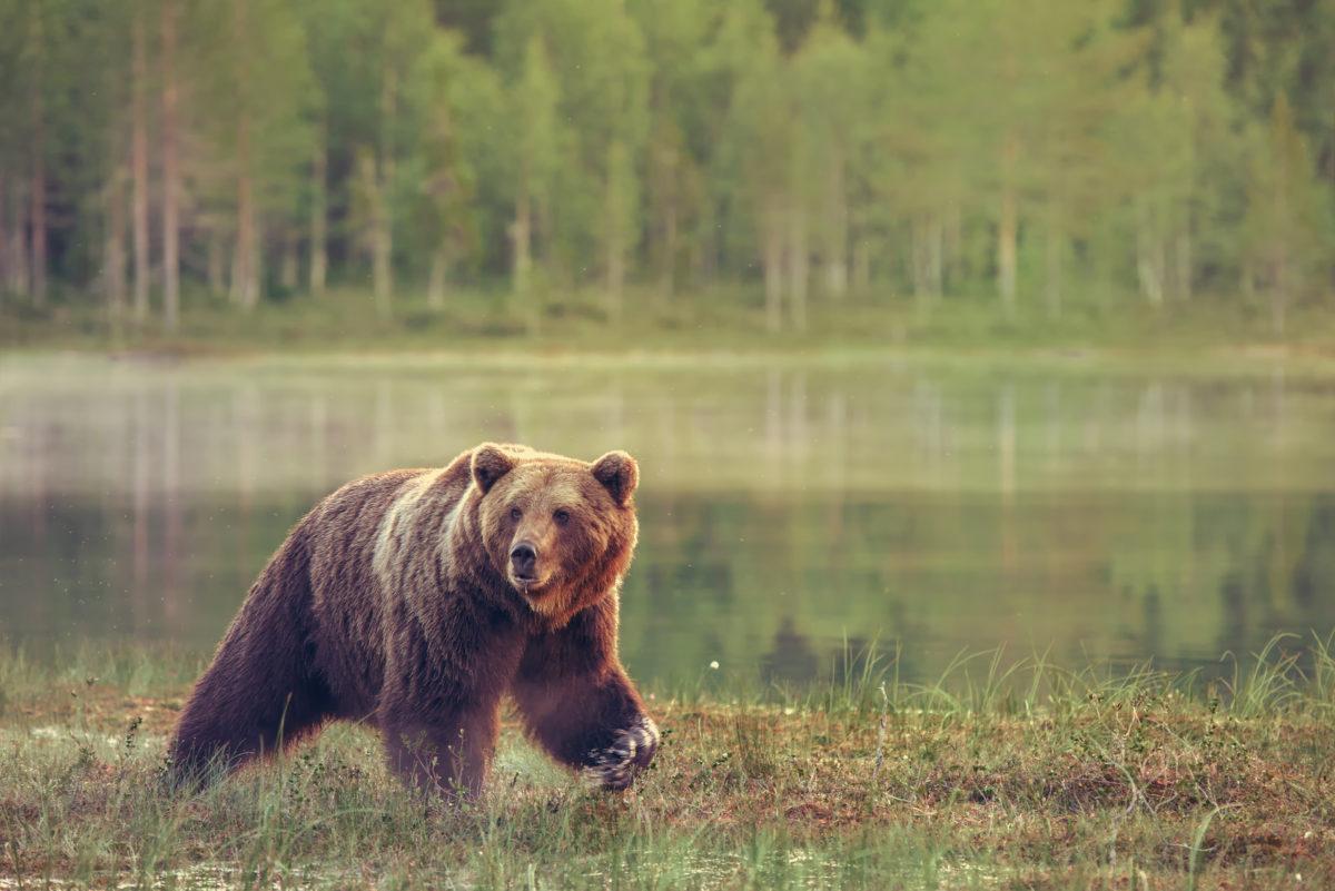 Big male bear walking in the bog