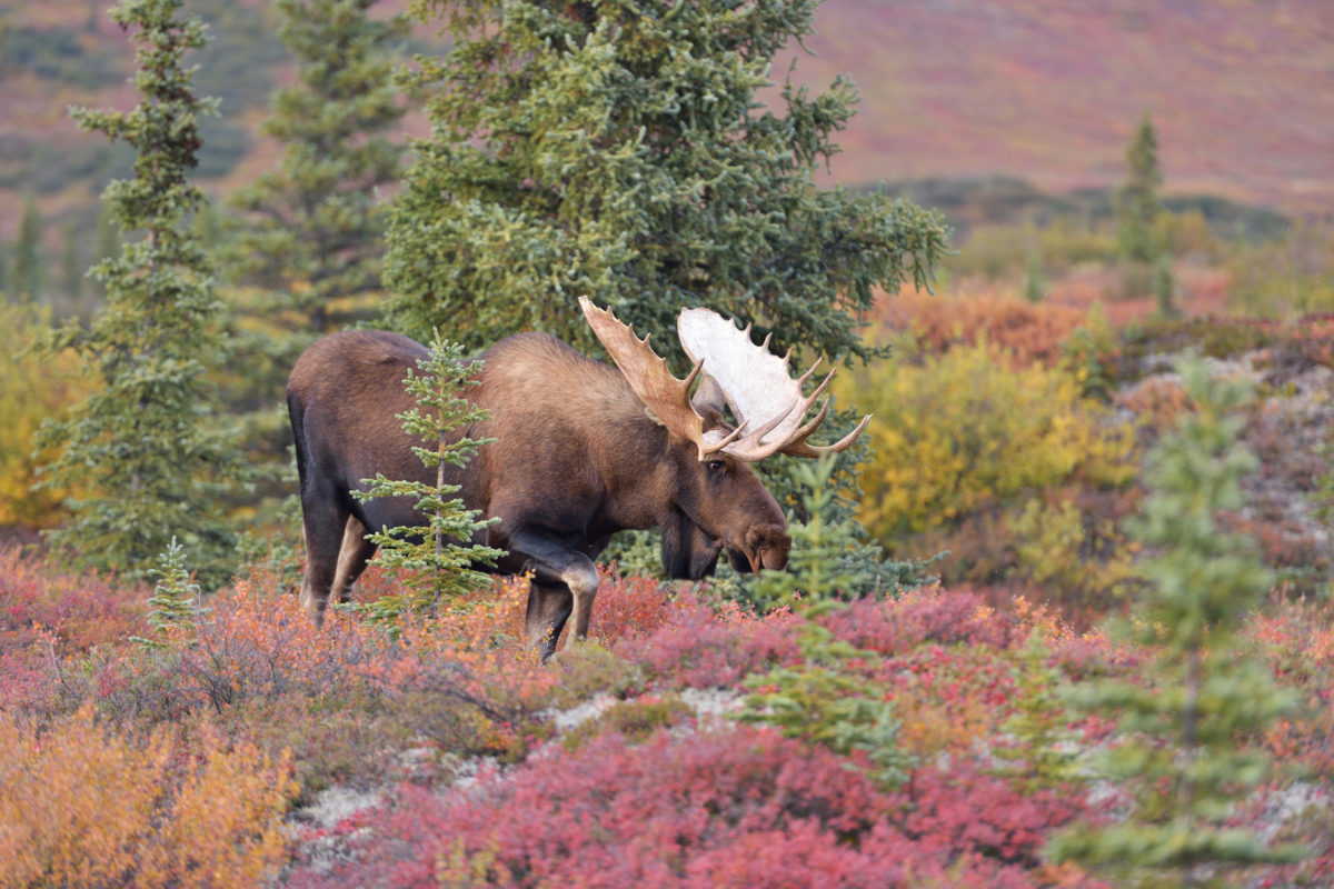 Bull Moose (alces alces) in Denali National Park, Alaska